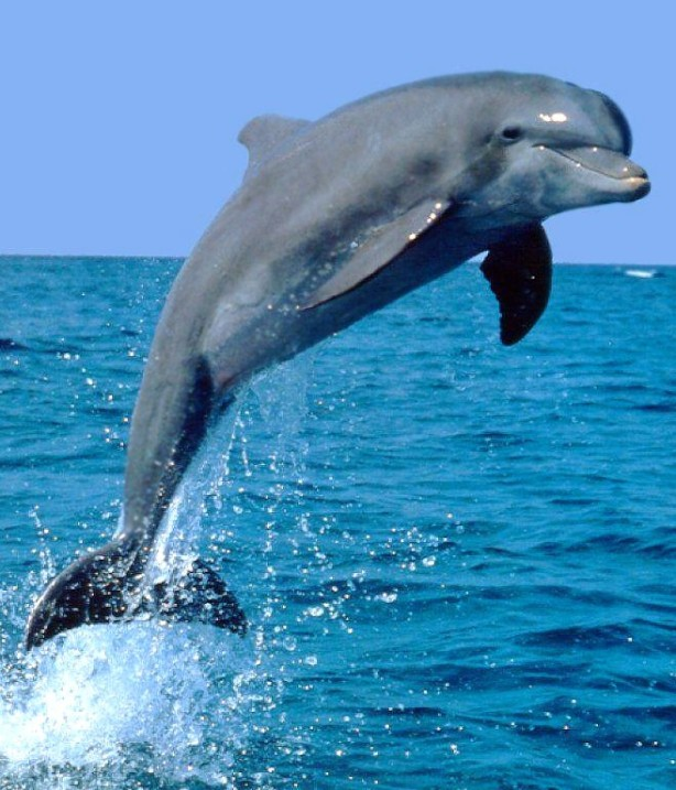 dolphin1b
